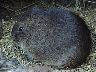 Greater guinea pig species of rodents