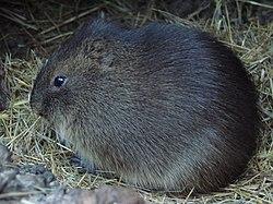 http://upload.wikimedia.org/wikipedia/commons/thumb/4/45/Cavia_magna_(Wroclaw_zoo).JPG/250px-Cavia_magna_(Wroclaw_zoo).JPG