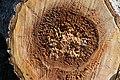 Cavités dans des bûches de peuplier blanc (55).JPG