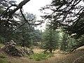Cedars of God (Lebanon cedar forests), Lebanon.jpg