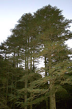 Middle-aged Cyprus cedars in Cyprus