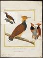 Celeus torquatus - 1700-1880 - Print - Iconographia Zoologica - Special Collections University of Amsterdam - UBA01 IZ18700319.tif
