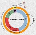 Cell Cycle-es.jpg