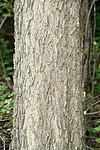 Celtis occidentalis 00730.jpg