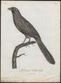 Centropus bengalensis - 1796-1808 - Print - Iconographia Zoologica - Special Collections University of Amsterdam - UBA01 IZ18800165.tif