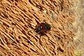 Cereal leaf beetle (garage) (8271028391).jpg