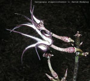 Asclepiadoideae - Ceropegia stapelliformis