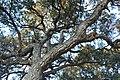 Chêne-liège (Quercus suber).jpg