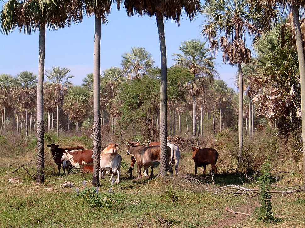 Chaco Paraguay,cattle ranch, Presidente Hayes Province
