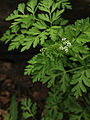 Chaerophyllum procumbens - Spreading Chervil.jpg
