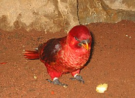 Chalcopsitta cardinalis.jpg