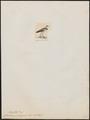 Charadrius philippinus - 1820-1860 - Print - Iconographia Zoologica - Special Collections University of Amsterdam - UBA01 IZ17200227.tif