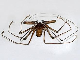 Charon (arachnid) - Charon grayi from Sulawesi on display at the Museo Civico di Storia Naturale di Milano
