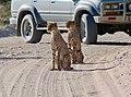 Cheetahs (Acinonyx jubatus) juveniles ... (51005623991).jpg