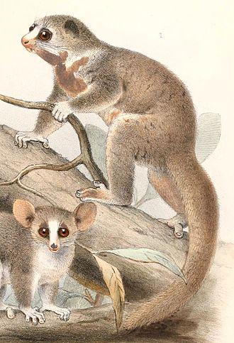 Fat-tailed dwarf lemur - Cheirogaleus adipicaudatus