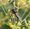 Chelosia species possibly bergenstammi....hairy eyes - Flickr - gailhampshire.jpg
