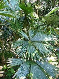 <i>Chelyocarpus</i> Genus of palms