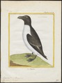 Chenalopex torda - 1700-1880 - Print - Iconographia Zoologica - Special Collections University of Amsterdam - UBA01 IZ17800175.tif