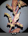Chenopodium polyspermum sl6.jpg