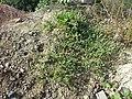 Chenopodium vulvaria sl102.jpg