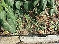 Chenopodium vulvaria sl90.jpg