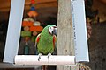 Chestnut-fronted Macaw (Ara severa) -Southwicks Zoo.jpg