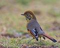Chestnut-tailed Minla Thailand.jpg