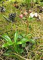 Chimaphila umbellata (Japan)-3.JPG