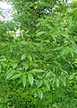 Chimonanthus praecox kz03.jpg