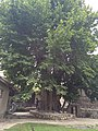 Chinar tree the oldest heritage.jpg
