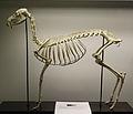 Chinese water deer (Hydropotes inermis) skeleton at the Royal Veterinary College anatomy museum.JPG
