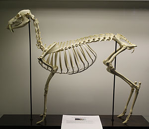 Water deer - The skeleton of a Water deer at the Royal Veterinary College.