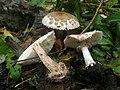 Chlorophyllum brunneum ts1.jpg