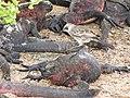 Christmas Iguanas - Marine Iguanas - Espanola - Hood - Galapagos Islands - Ecuador (4871414338).jpg