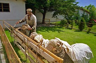 Rawson, Chubut - Homeowner and his Merino sheep.