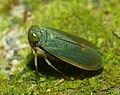 Cicadellid Wynaad.jpg