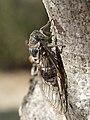 Cicadidae 2017 Koroni 08.jpg