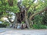 Cinnamomum camphora 20100601 (Kawazu) (B).jpg