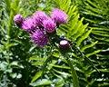 Cirsium montanum7.jpg