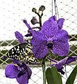 Citrus Swallowtail Papilio demodocus II.jpg