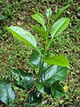 Citrus aurantifolia leaves.jpg