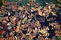 City of London Cemetery Memorial Gardens pond floating fallen leaves 01.jpg