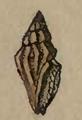 Clathromangelia pellucida 001.png