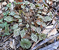 Claytonia perfoliata ssp intermontana 3.jpg