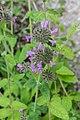 Clinopodium vulgare in Jardin des 5 sens (2).jpg