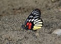 Close wing position of Delias acalis Godart, 1819 – Redbreast Jezebel.jpg