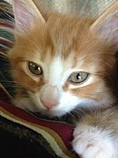 Closeup of Orange Kitten.jpg