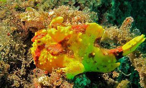 Clown Frogfish (Antennarius maculatus) (8470598015).jpg