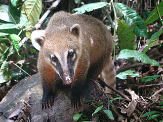 Reliability of Wikipedia - Image: Coati (Nasua nasua) at Parque Nacional da Serra dos Órgãos, Teresópolis, Brazil