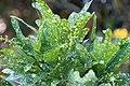 Codiaeum variegatum 5zz.jpg